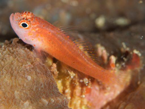 Skinspot pygmygoby(シリウスベニハゼ)