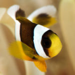 Clark's anemonefish  (Juvenile)