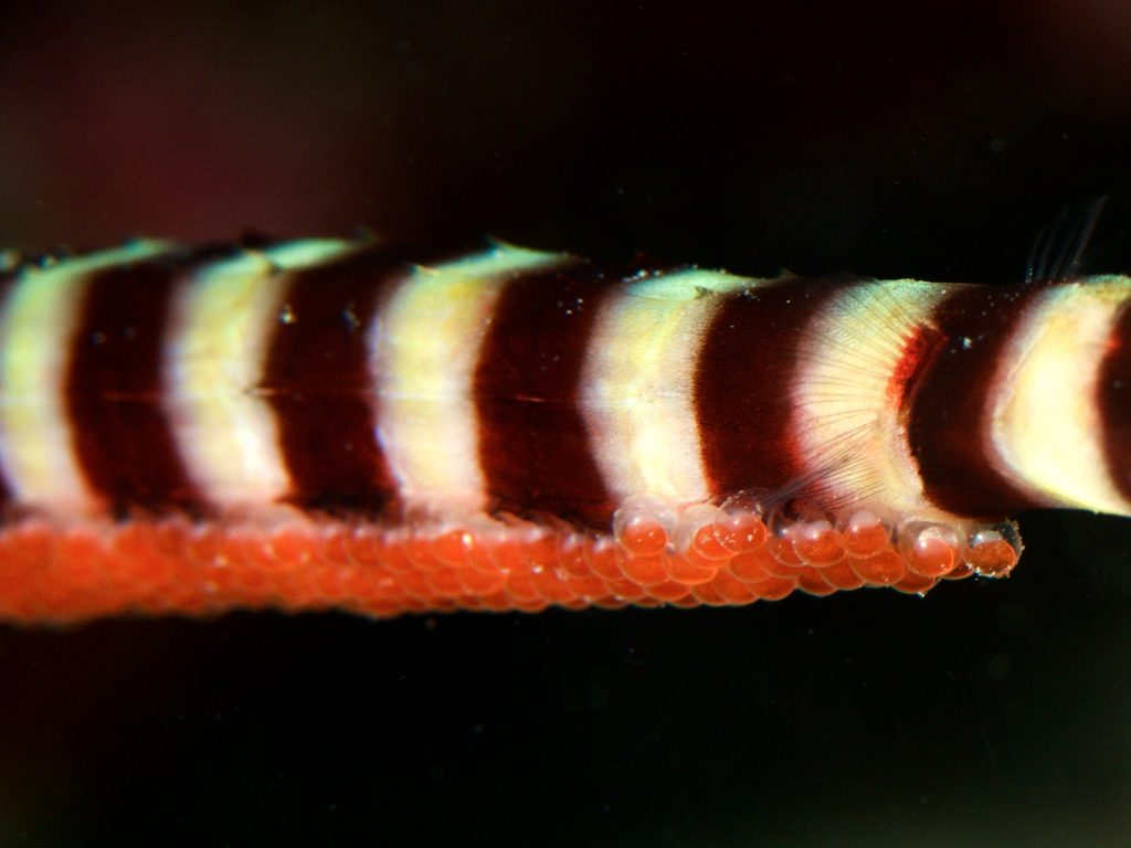 TambliのRinged pipefish(オイランヨウジ)