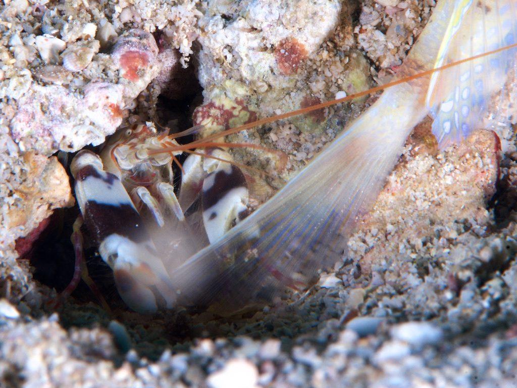 Snapping shrimp(テッポウエビ)