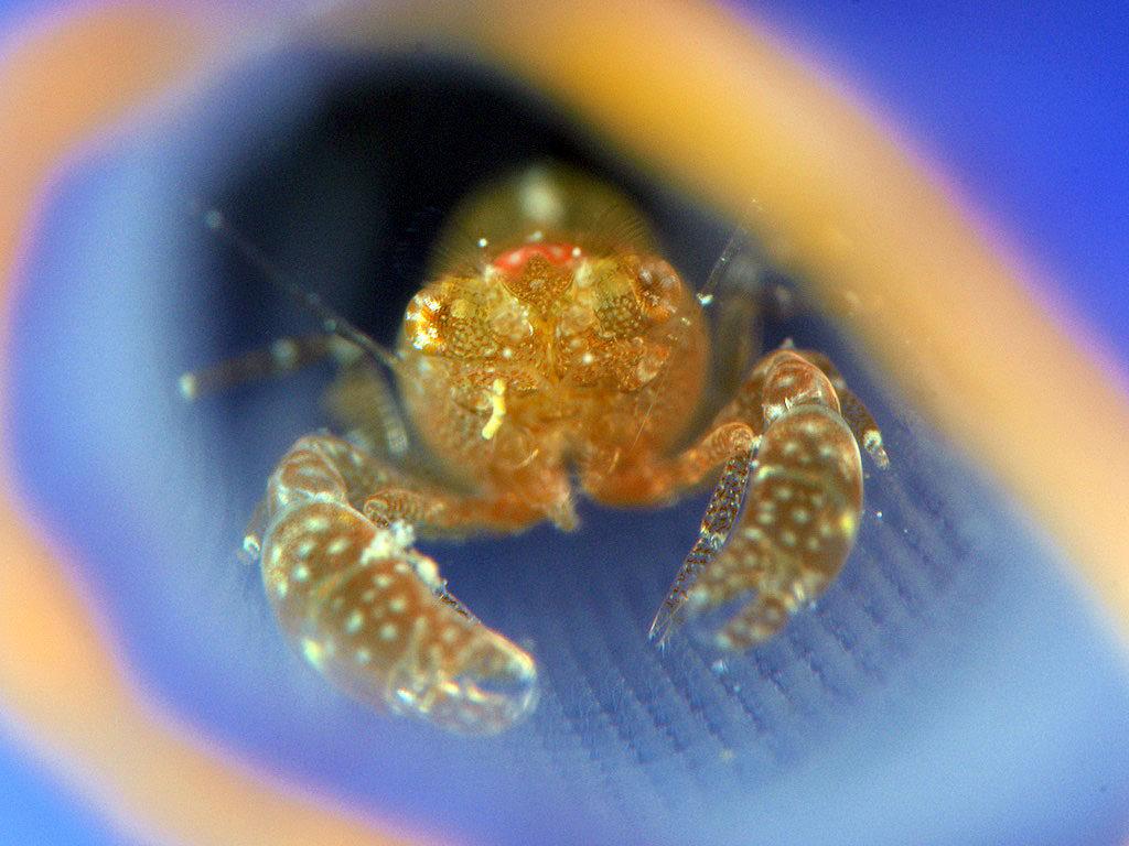 Tunicate shrimp(ホヤカクレエビ)