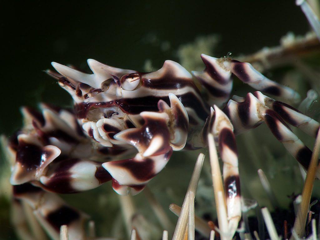 Zebra crab(ゼブラガニ)