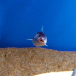 ピラニアより怖い魚