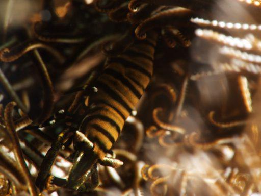 Ambon crinoid shrimp(バサラカクレエビ)