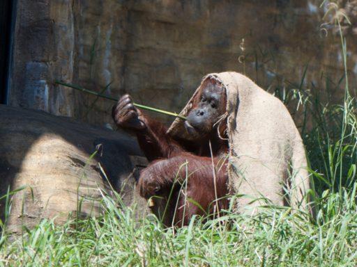 多摩動物公園のオランウータン、チャッピー