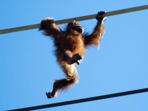 多摩動物公園でスカイウォーク中のリキ