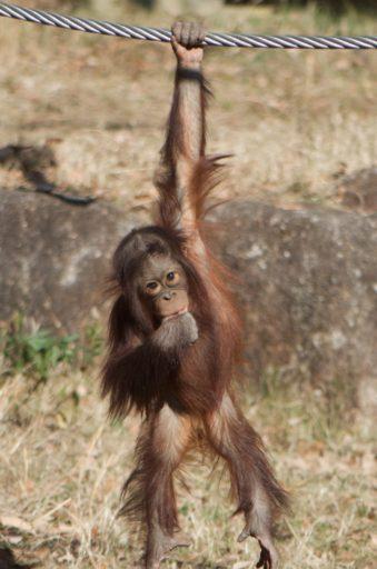 多摩動物公園のアピ(1歳)