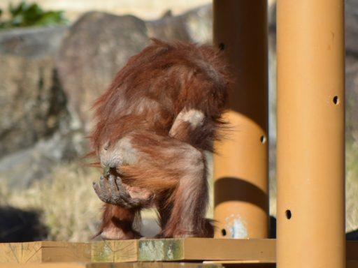 多摩動物公園のリキ