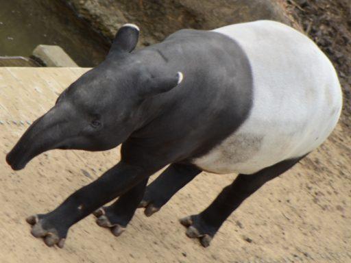 Malayan Tapir(マレーバク)