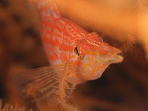 Longnose hawkfish(クダゴンベ)