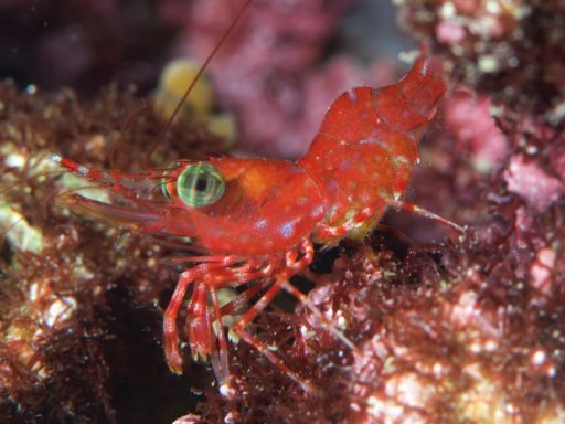 Reticulated hinge-beak shrimp、サラサエビの仲間