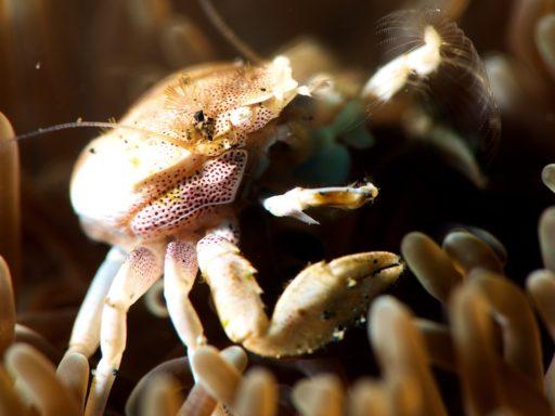 Spiny porcelain crab