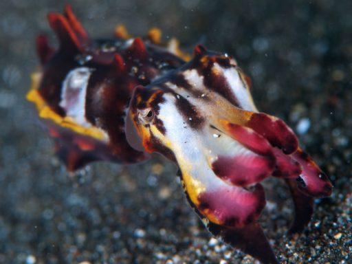 Flamboyant cuttlefish(ミナミハナイカ)