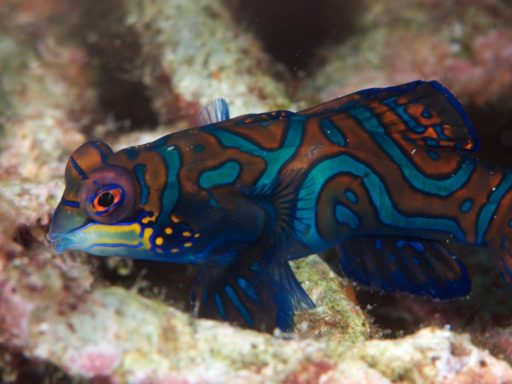 Mandarinfish(ニシキテグリ)