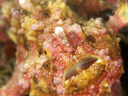 Warty frogfish(クマドリカエルアンコウ)