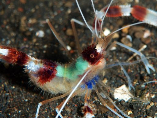Boxer shrimp、オトヒメエビ