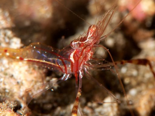 Commensal shrimp