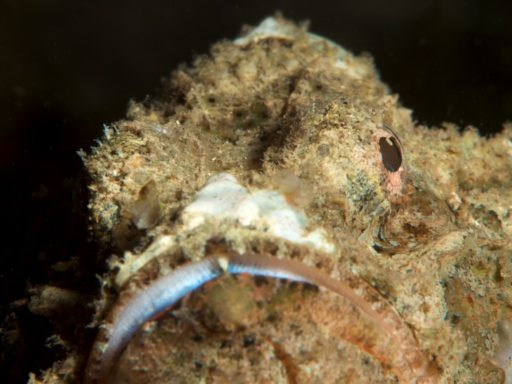 Devil scorpionfish(ニライカサゴ)