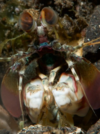 Pink-eared mantis
