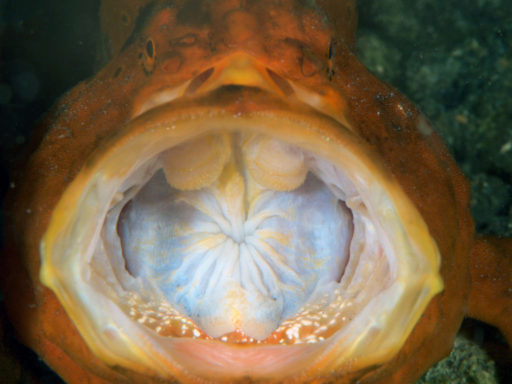 yawn of frogfish