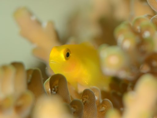 Redhead coralgoby
