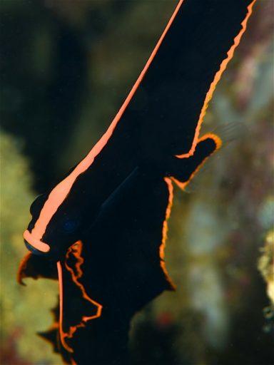 Pinnate batfish(アカククリ)