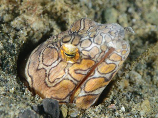 イレズミウミヘビ(失敗作)