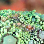 Graceful Anemone Shrimp