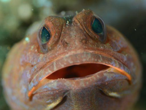 Variable jawfish