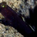 Unknown goby