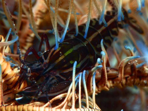 Striped snapping shrimp、コマチテッポウエビ