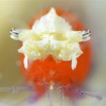 Koror anemone shrimp