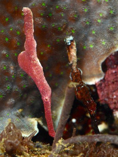 Velvet ghost pipefish