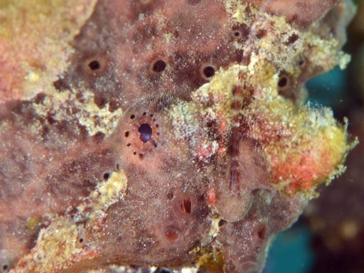 Giant frogfish(オオモンカエルアンコウ)
