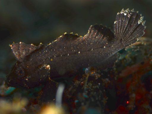 Dwarf velvetfish?