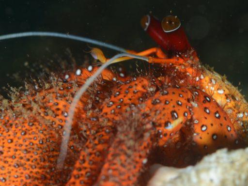 White spotted hermit crab(コモンヤドカリ)