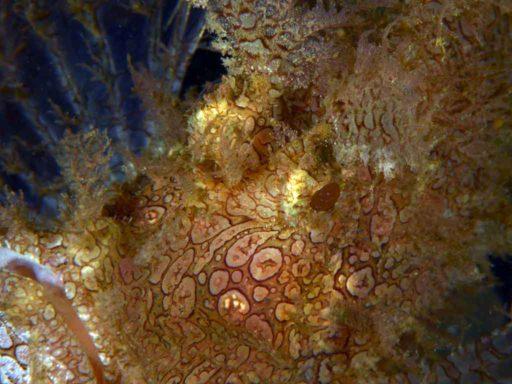 Rhinopias、ボロカサゴ