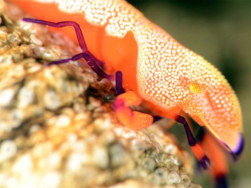Emparor shrimp、ウミウシカクレエビ