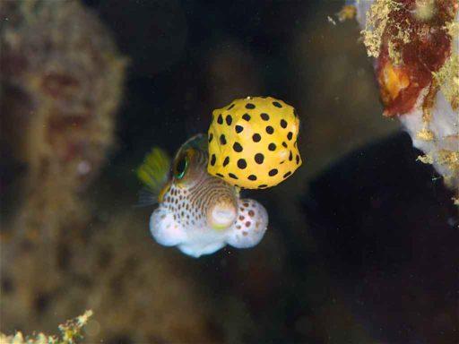 キンチャクフグを従えたミナミハコフグの幼魚