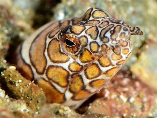 Napoleon snake eel、イレズミ