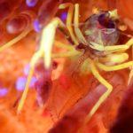 Blooks Urchin Shrimp