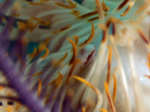 Clingfish、ウバウオ
