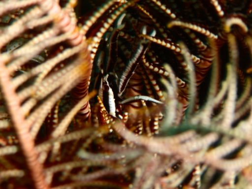 Elegant crinoid squat lobster、コマチコシオリエビ