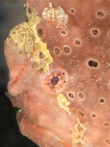 Gisant frogfish
