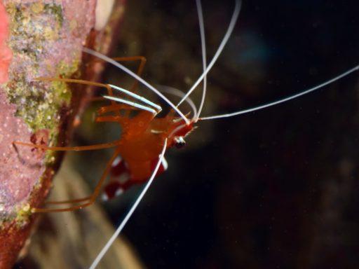 White banded cleaner shrimp