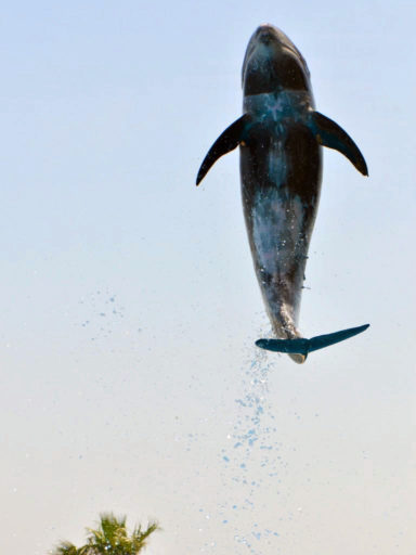 マリンワールド海の中道のオキゴンドウ