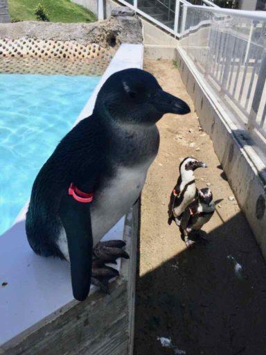 マリンワールド海の中道のフンボルトペンギン