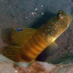 Flagfin Shrimpgoby