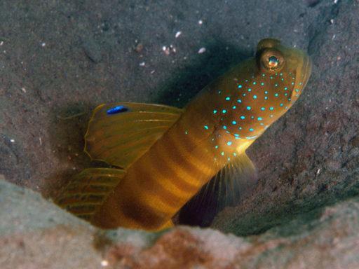 Flagfin Shrimpgoby(カスリハゼ)