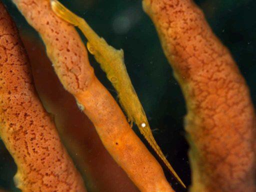 Ocellated Tozeuma Shrimp